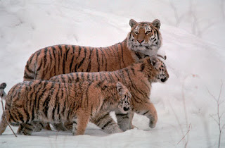 den sibiriske tiger fakta