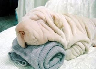 esta linda cadela da ra a pug ela parece mais uma toalinha de