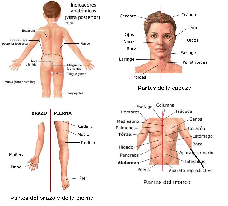 Bonito Divisiones De La Anatomía Inspiración - Anatomía de Las ...
