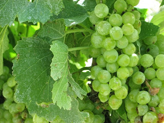 Casa Rondeña Grapes