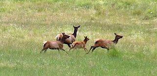 Wildlife in the Valles Caldera