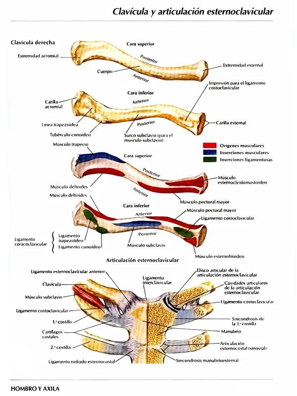 Anatomía Humana: Miembro Superior