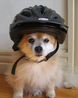 [helmet+dog]