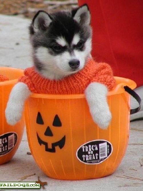 [halloween+puppy]
