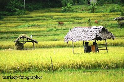 Gambar Pemandangan Sawah | Picture Wallpaper - Download Wallpapers
