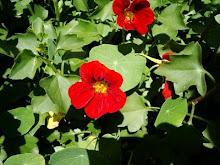 Flor de Amelia