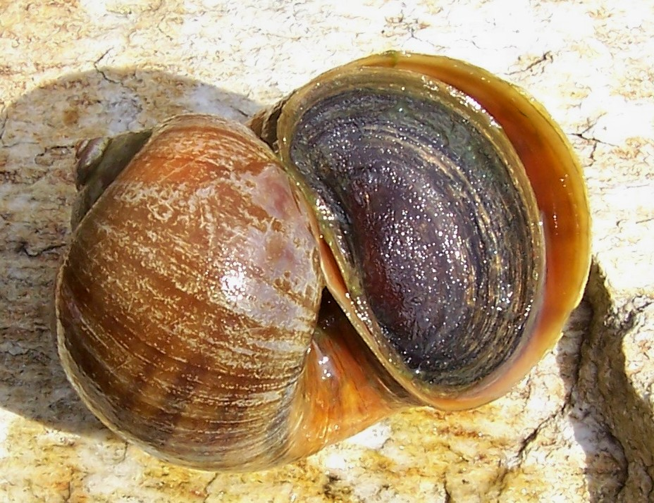 West African Freshwater Snail : Panhead0422s Photographs: APPLE SNAIL PICTURES AND FACTS?