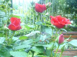 E' arrivato il tempo delle rose.
