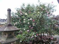 薄桃色や白に咲き分ける五色の八重椿