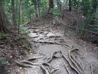 杉の根がそこ此処に露出している