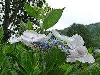 額アジサイの花についた雨粒