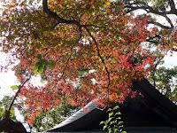 手向山の楓樹