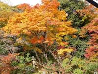 樹齢100年という古木の楓の樹