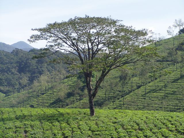 VAAGAI TREE