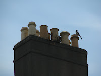 Magpie and chimney pots in downtown Dublin