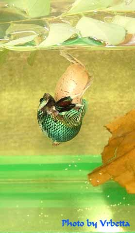 Betta Fish Breeding on Breed Betta Fish Jpg