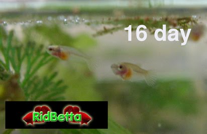 Growth of betta fish betta fish care and betta breeding tips for Baby betta fish care