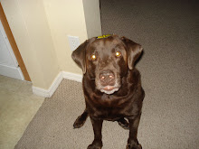 Vinnie..My adorable Chocolate Lab