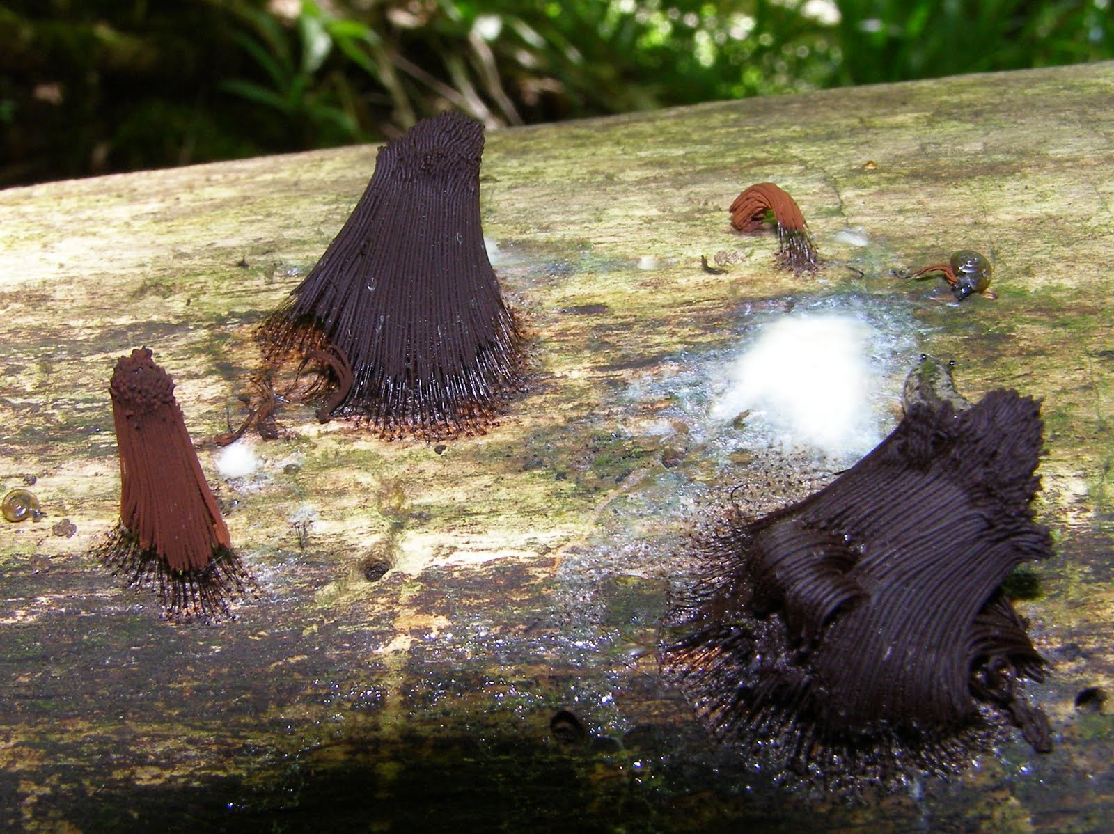 how to find slime mold