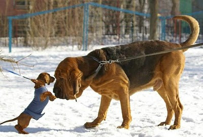 funny-dogs-small-dog-challenging-big-dog
