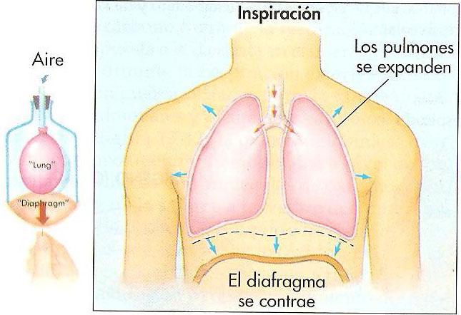 Mecanica de la Respiracion - CENTRO FÉNIX