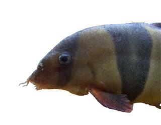 freshwater velvet, loach