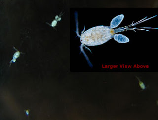 Cyclops Copepods in Aquarium