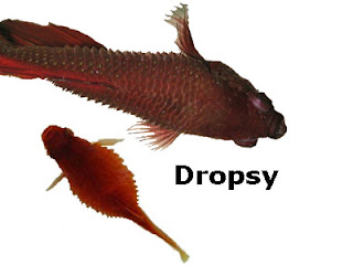 Betta, Platy, goldfish, fish with Dropsy