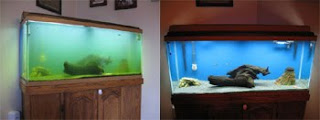 Green Water Freshwater Aquarium, before and after UV Sterilizer
