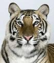 Бенгалски тигър!!!