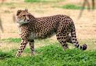 Гепард!!!