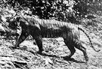 Изчезнали видове тигри!!!