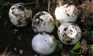 incubar huevo tortuga tierra: