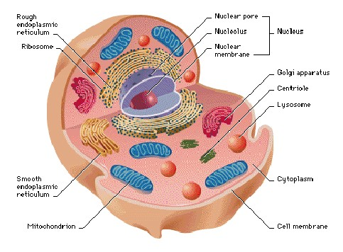 animal cell labelled diagram