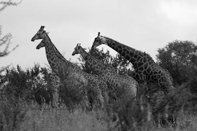 Kruger Park, Africa do Sul, Janeiro de 2009