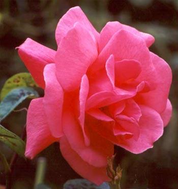 friend request roses