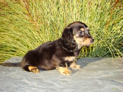 mini long haired dachshund puppies. mini long haired dachshund