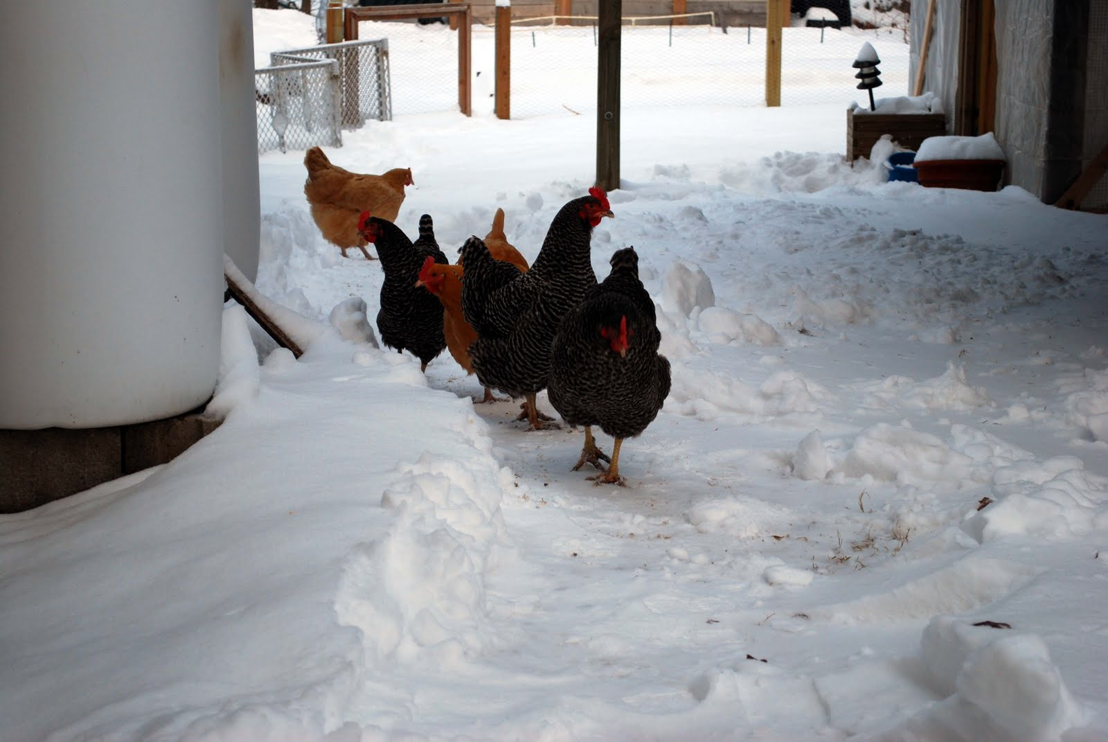 Backyard Chickens In Winter : Dave and Lisas Backyard Chickens in Winter