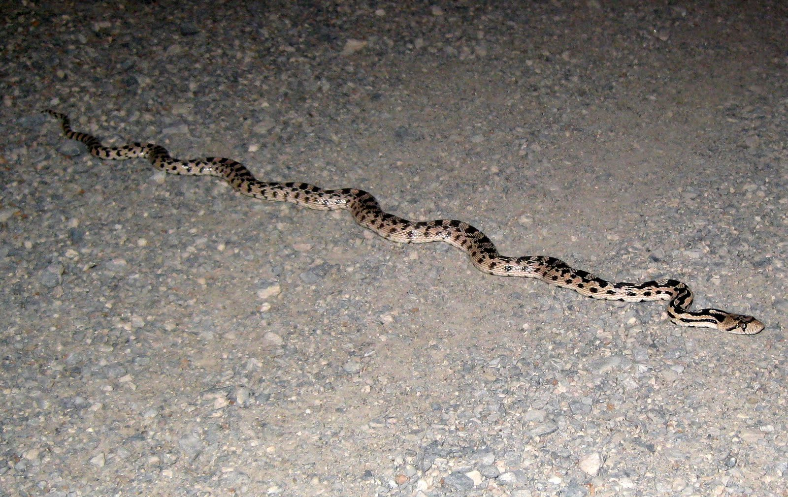 Pet Gopher Snake