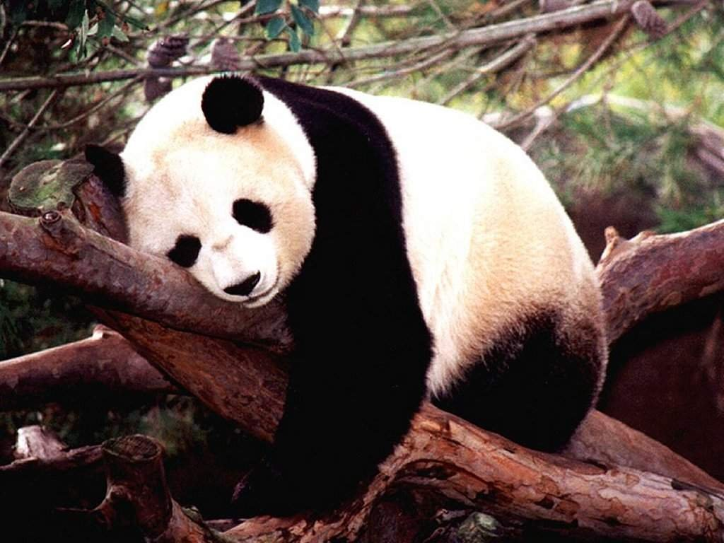 panda bear wallpaper
