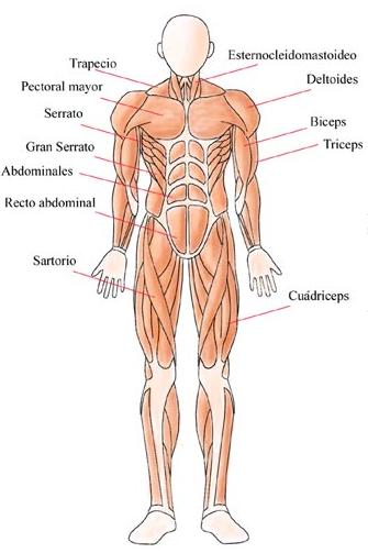 Resultado de imagen de huesos y músculos