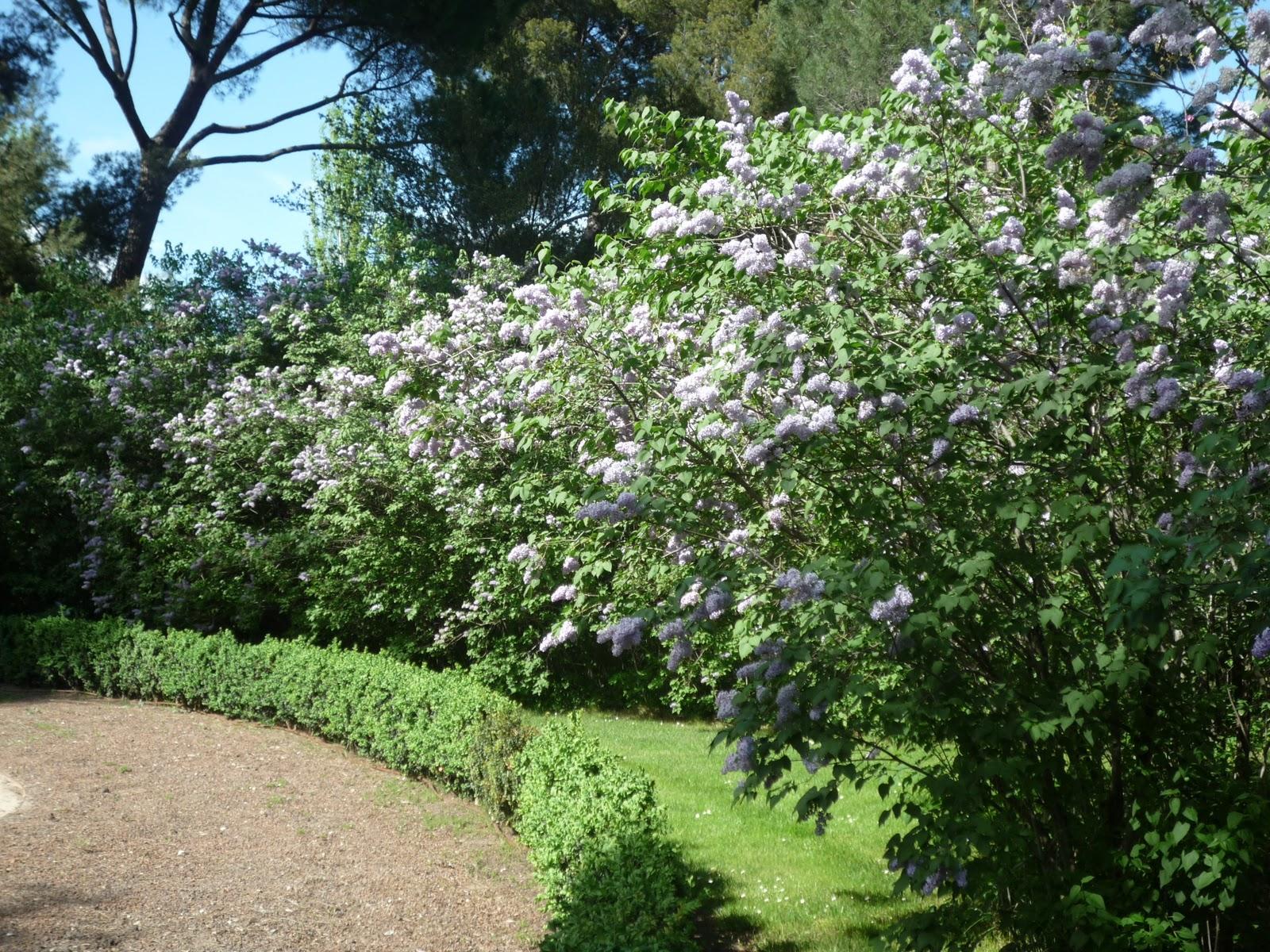 Arbustos de jardin con flores lilas textura patr n fondo - Arbustos de jardin ...