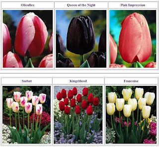 Bunga Tulip Besar