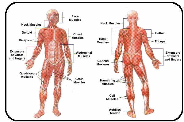 simple muscle diagram – citybeauty, Muscles