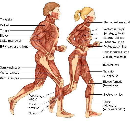 iscience: iscientific; muscular diagram, Muscles