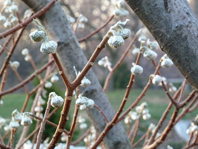 Edgworthia chrysantha, Paperbush, winter buds
