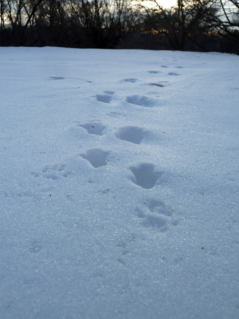 rabbit and possibly squirrel tracks in snow