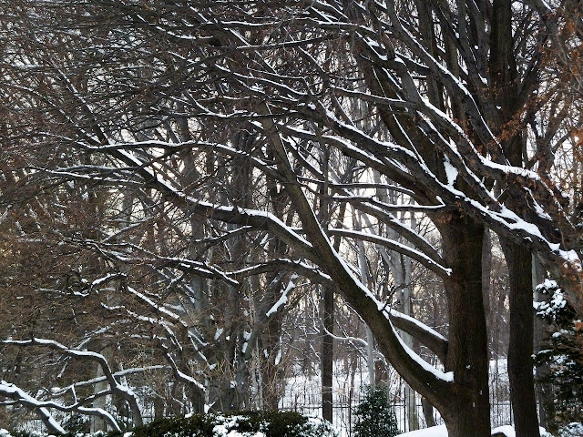 Snow on branches, Brooklyn Botanic