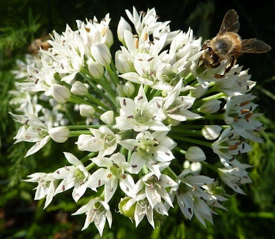 Bee on garlic chive flower