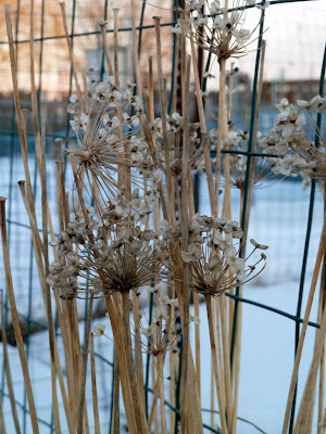 Flower/seedhead of garlic chives in early January